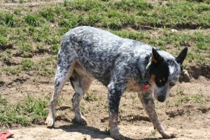 cutest cattle dog ever 2 by jettstock