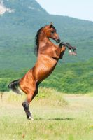 Arabian stallion Angleter by Vikarus