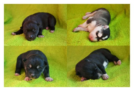 Puppies Hufloyds by Pawkeye