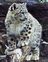 Snow Leopard Stock 40: Cub by HOTNStock