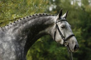Trakehner Stallion Portrait by Blashina
