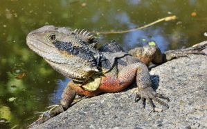 Eastern Water Dragon (male) by Davenwolf