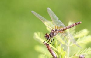 Dragonfly 4 by Rjo0oy