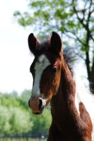Toby - Bay Tobiano Colt by Horselover60-Stock