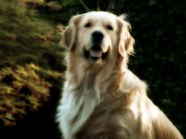 Maggie Golden Retriver by lorenzob