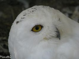 Close to the snowy owl by Momotte2