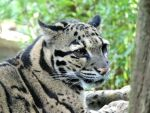 Clouded leopard by Shippochan1000