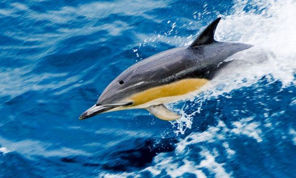 common dolphin by swissloko