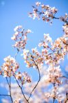 Blossoms by WickedOwl514