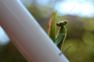 Praying Mantis by populusnigra