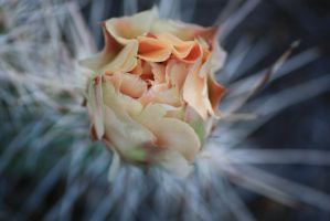 Day old cactus flower by Bluehuskey12