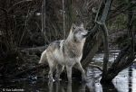 wolf in muddy waters by Yair-Leibovich