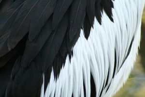 More Pelican Feathers by FreeakStock