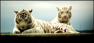 Tigers by twistedtoy