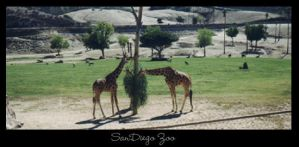 SanDiego Zoo Giraffs by raverqueenage