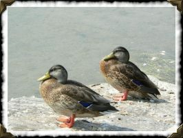 Double Duck by lynleef