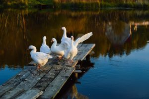 Autumn Geese 3 by Lubov2001