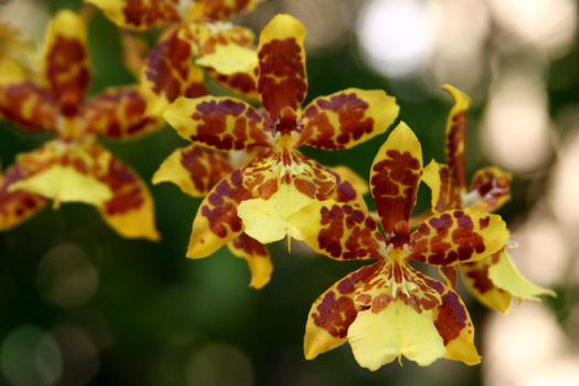orchid 2 by stockofshutterbugmom