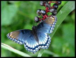 Red Spotted Purple Pokeweed by SauriaMami