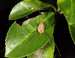 Harvestman by Vitaloverdose