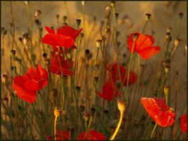 Poppies by madzia