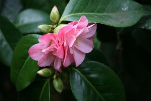 awesome camellias 6 by ingeline-art