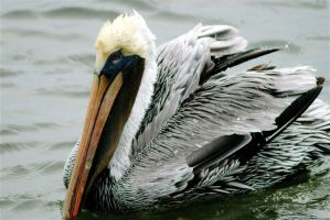 Brown Pelican by KandBphotography22