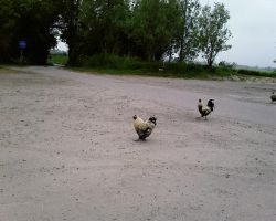 chickens2 by priesteres-stock