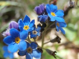 Forget Me Not by TheaVolett