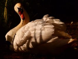 Swan portrait by melrissbrook