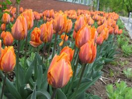 Tulips by Minnake