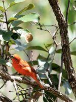 Hepatic Tanager by BrunoDidi