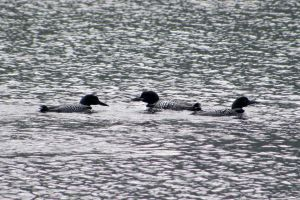 Common Loons by Syagria