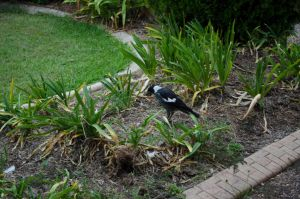 Magpie Feeding 3 by Megalomaniacaly