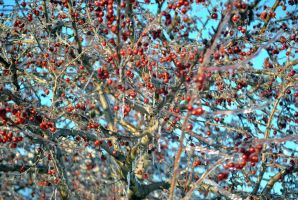 Frozen Crabapples by KEArnold