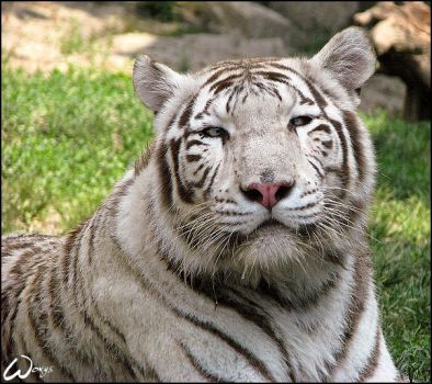 White Bengal tiger beauty... by woxys