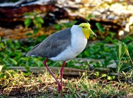 9362 Masked lapwing by HCeee