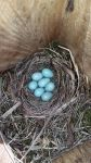 Collared Flycatcher eggs (Ficedula albicollis) by Hun-Ter