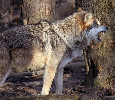 Mexican Wolf Stock 17: Snarling by HOTNStock