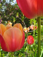 flower - tulips - stock by stock-of-aestchen
