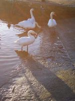 CC Swans 2 by wilterdrose-stock