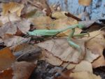 Pray Mantis by DreamsWithinMe
