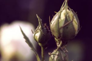 Darling buds by Botemedlet