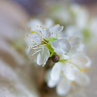 The softness of blossom by Pamba