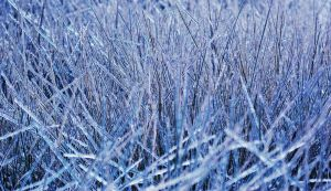 Frozen Marsh Grass by KissofCrimson