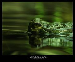 Gharial's eye 2 by Leitor