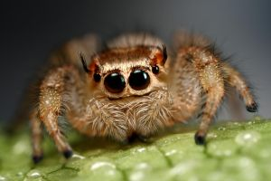 jumping spiders funny face by macrojunkie