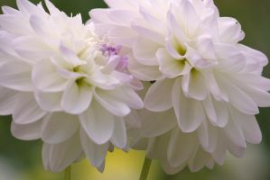 white dahlias 2 by ingeline-art