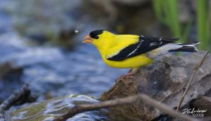 Gold finch drop by DGAnder
