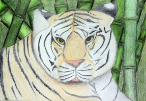 Tiger drawing by Croc-blanc